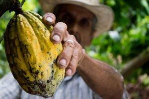 raccolta del cacao